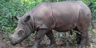 Badak Sumatera